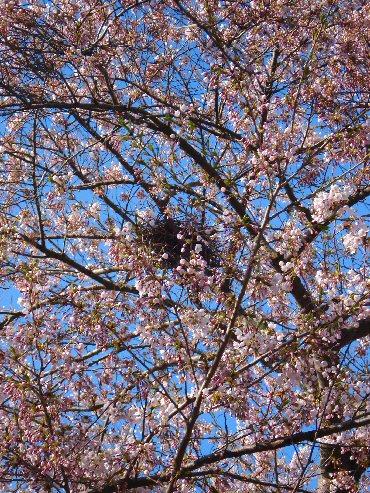 カラスの巣と桜