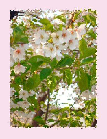 桜5月18日