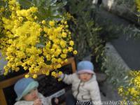 ミモザ開花。