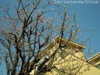桃の花満開!