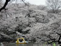 満開の桜。