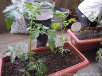 ミニトマトと枝豆。