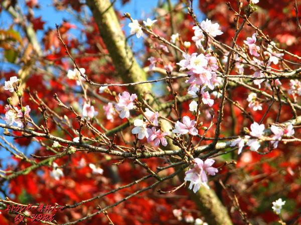 5450四季桜と紅葉091123