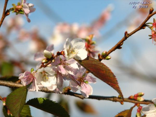 5407四季桜091123.jpg