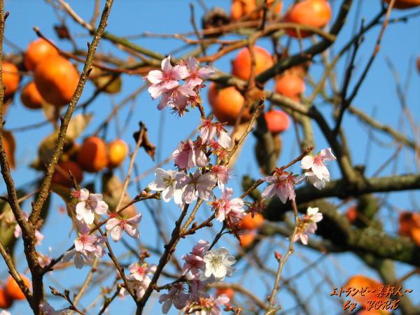 5420四季桜と柿091123.jpg