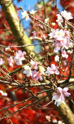 携帯用 5450四季桜と紅葉240×400.jpg
