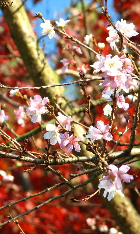 携帯用 5450四季桜と紅葉480×800.jpg