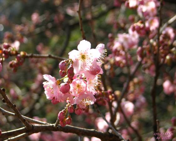 壁紙 5997椿寒桜.jpg