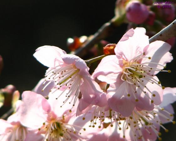 壁紙 5993椿寒桜.jpg
