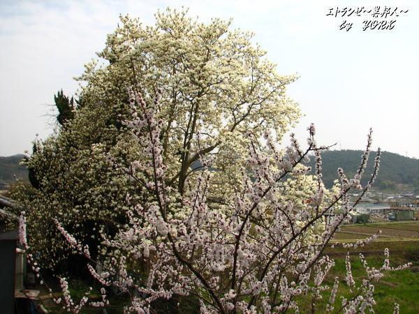 6541梅と白木蓮100320.jpg