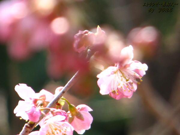 6052椿寒桜100228.jpg