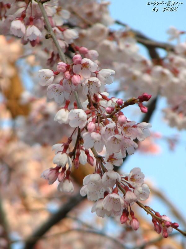 6674枝垂れ桜100328.jpg