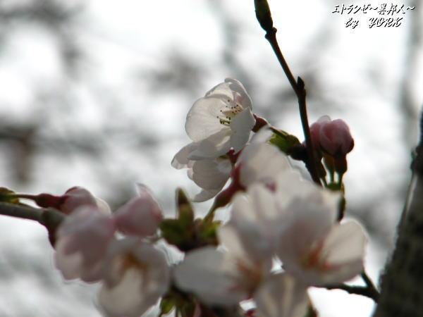 6607ソメイヨシノ100328.jpg