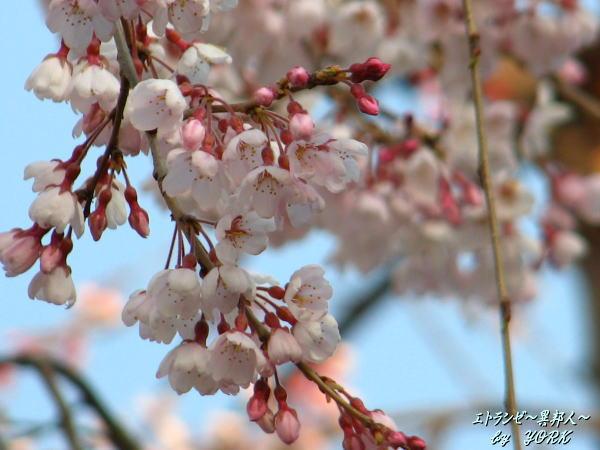 6632枝垂れ桜100328.jpg