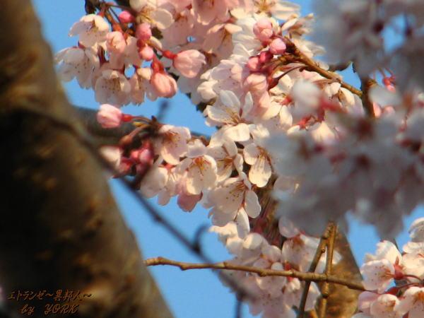 6628枝垂れ桜100328.jpg