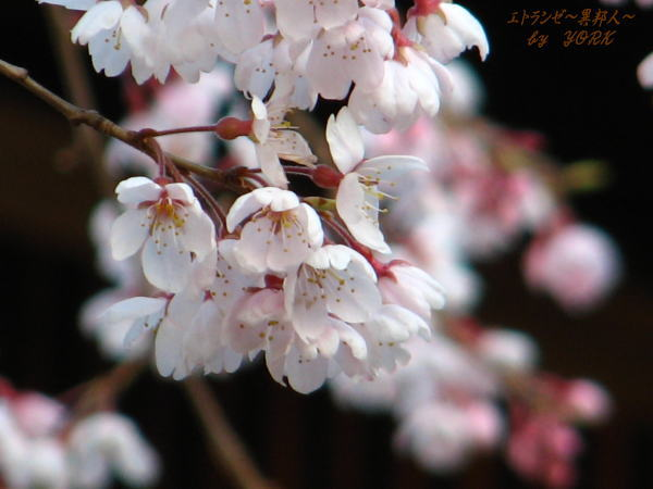 6638枝垂れ桜100328.jpg