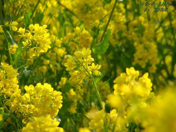 6756菜の花いっぱい100406.jpg