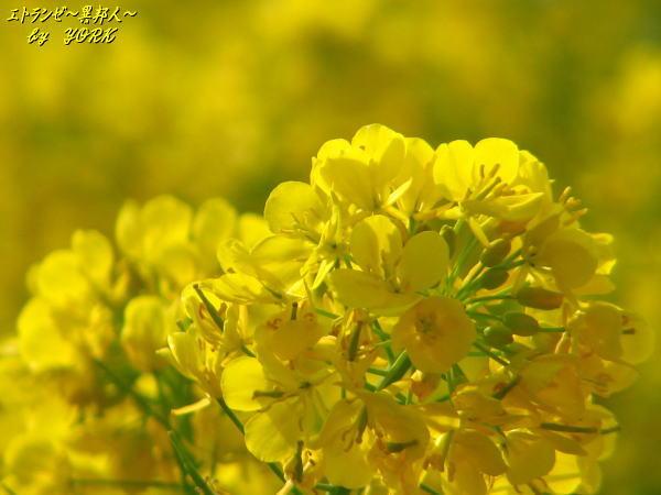 6741菜の花アップ100406.jpg
