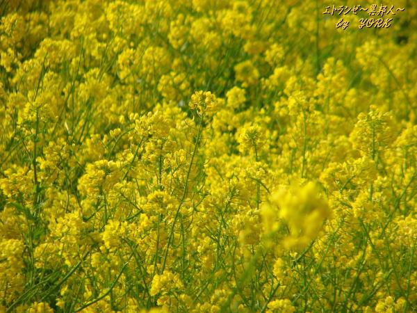 6745菜の花畑100406.jpg