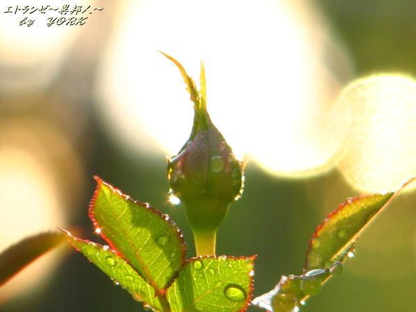 7041光の中の薔薇100516