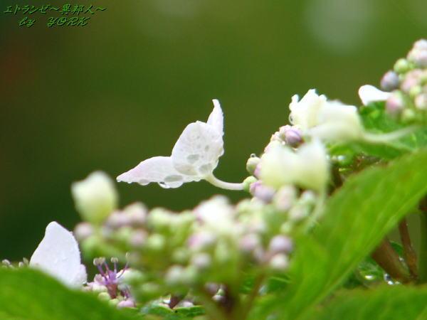 7167雨の紫陽花100613