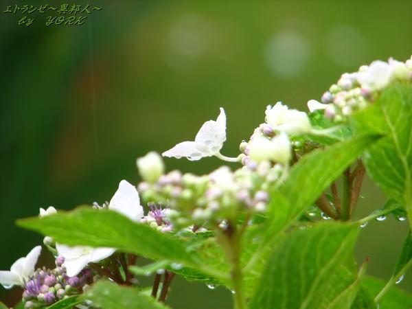 7166雨の紫陽花100613