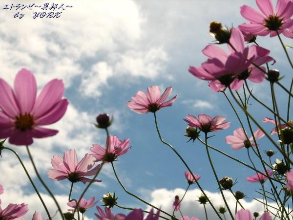 8743秋桜青空に咲く101011