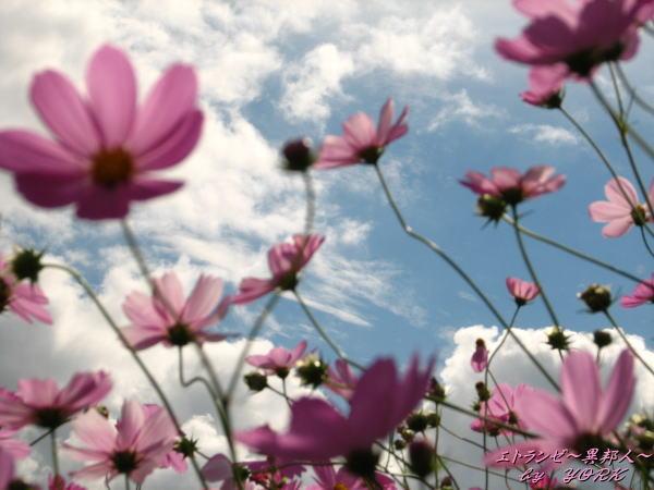 8741秋桜青空に咲く空にピン101011