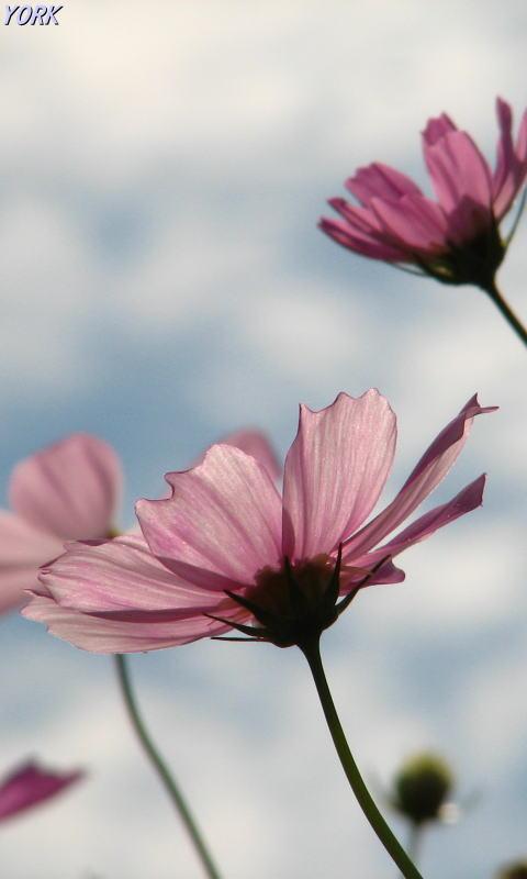 携帯用 8768秋桜青空に咲く480×800