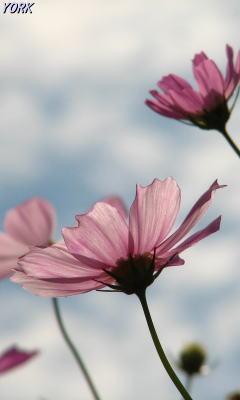 携帯用 8768秋桜青空に咲く240×400