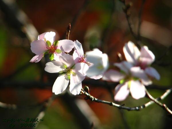 9052四季桜101121