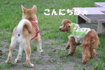 柴犬ちゃんにごあいさつ