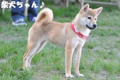 柴犬ちゃん発見!!!