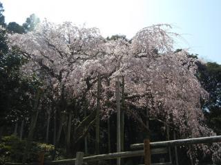 波佐見の枝垂桜