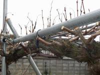 H240217ブドウの剪定