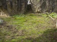 H240228落ち葉の下の苔