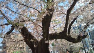 桜2010.4.8