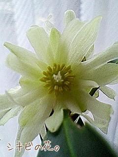 シキビの花