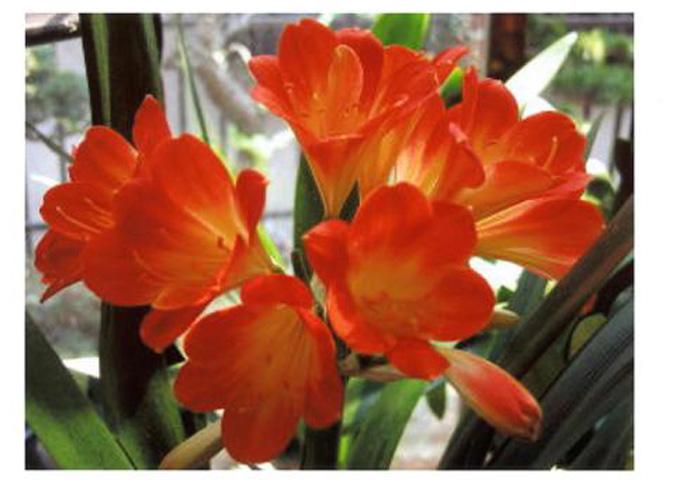 君子蘭の花ー1
