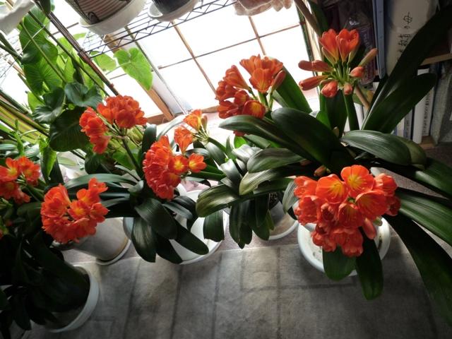 君子欄の花ー2