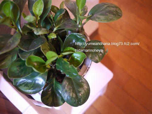 観葉植物120229