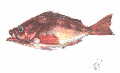 魚成作品金目