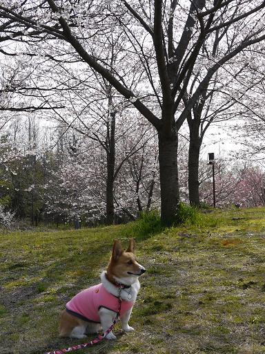 桜とプー3.30