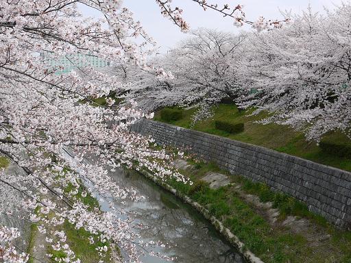 山崎川の桜4.4