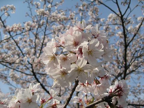 天白川の桜4.6