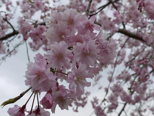 平和公園の枝垂れ桜4.9