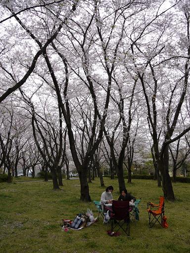 平和公園の桜4.9