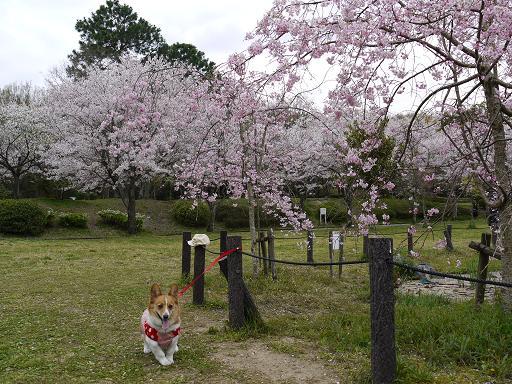 枝垂れ桜とプー4.9