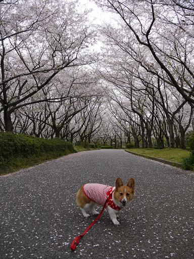 桜並木を歩く4.9