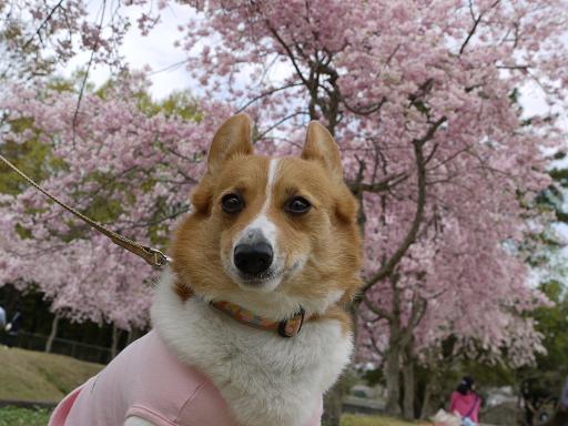 枝垂れ桜とプー4.11